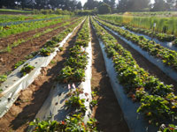 strawberries at the UCSC Agroecology farm